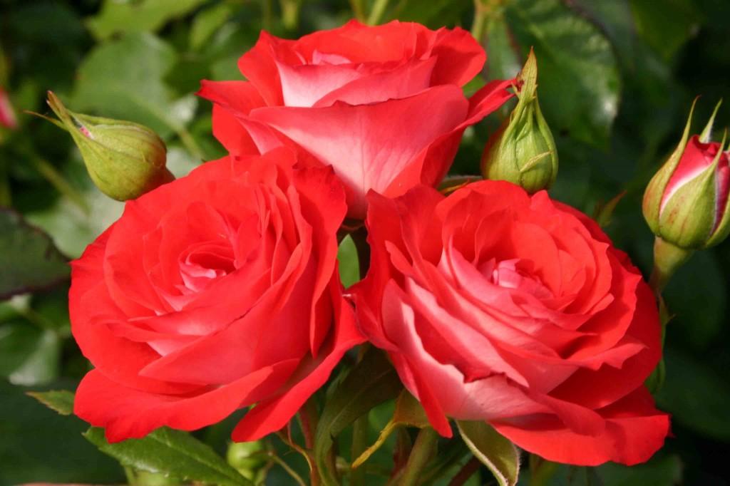 France roses