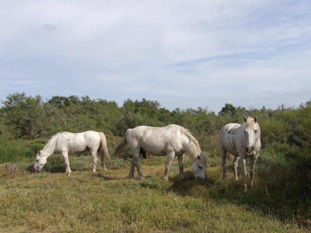 chevaux domaine de la Palissade Camargue