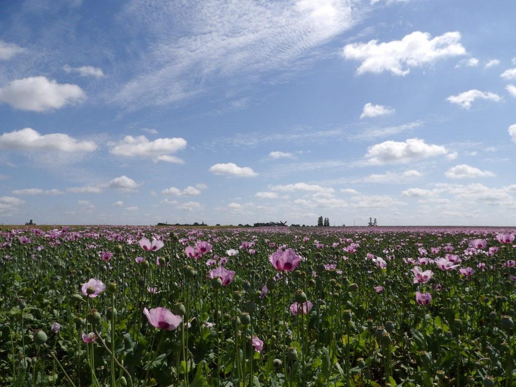Champs Tulipes Eure et Loir