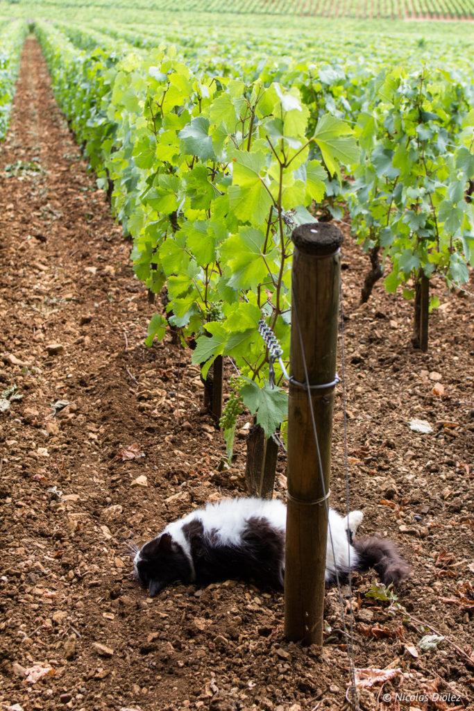 Vigne chat Domaine de Comte Senard