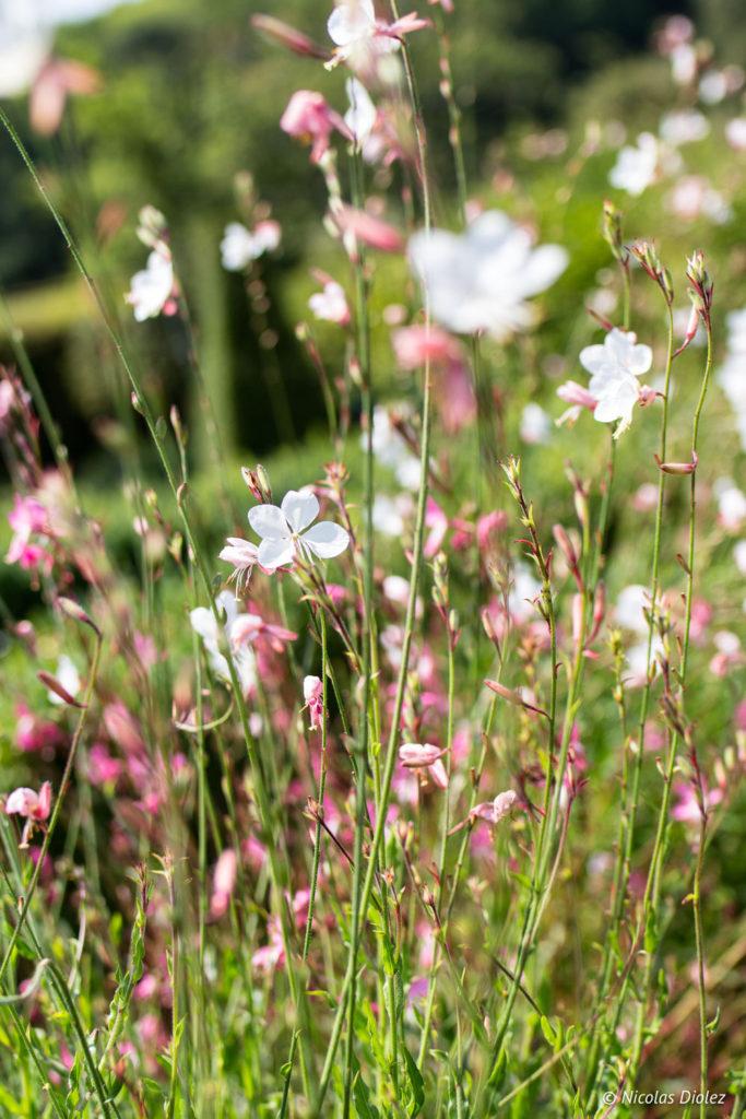 fleurs Jardin de Silière Cohons