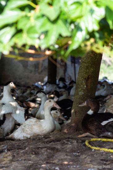 canards Ferme de Las Crabère Gers