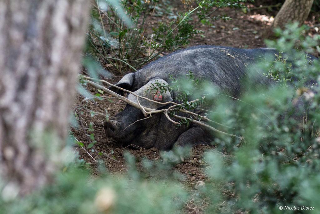 Porc noir Gascon Ferme de Bidache Gers